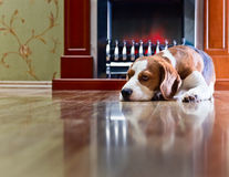 Beagle has a rest near to a fireplace Stock Images