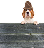 Beagle in hat Royalty Free Stock Photo