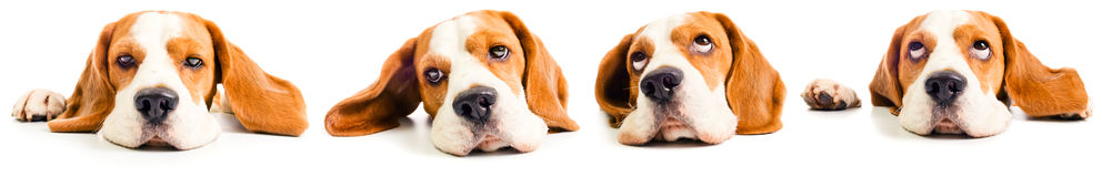 Beagle head Royalty Free Stock Photography