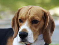 Beagle head Royalty Free Stock Images