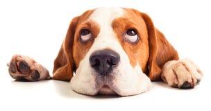 Beagle head isolated on white Royalty Free Stock Photo
