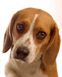 Beagle head shot. Two year old male beagle on white background Royalty Free Stock Photo