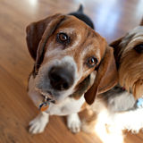 Beagle Head Tilt Royalty Free Stock Image