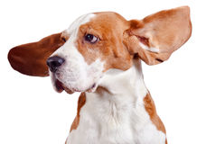 Beagle head  on white Royalty Free Stock Image