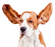 Beagle head  on white Stock Image