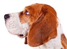 Beagle head  on white Stock Photography