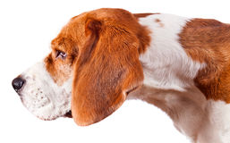 Beagle head  on white Royalty Free Stock Photography
