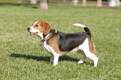 Beagle with Heart Dog Tag. At the park Stock Image