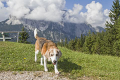 Beagle hiking in the mountains Stock Photo