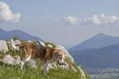 Beagle hiking in the mountains Royalty Free Stock Photos