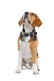 Beagle Hound Dog. A beagle dog looking up royalty free stock images