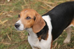 Beagle Hound Dog. Royalty Free Stock Photography