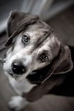 Beagle Hound Dog Portrait Royalty Free Stock Photography