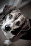 Beagle Hound Dog Portrait Royalty Free Stock Photography