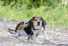 Beagle hound dog scratching fleas. Bud is a tri-color Beagle rabbit dog photographed outdoors in a meadow on leash. He is not neutered. Flakey skin and fleas Royalty Free Stock Photos
