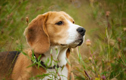 Beagle hunter dog lies quietly in the grass Royalty Free Stock Image