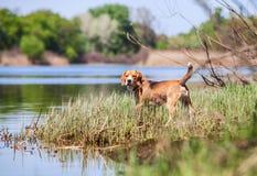 Beagle- hunter dog   Stock Photography