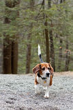 Beagle Hunting Dog. Running through the woods following a scent stock photo