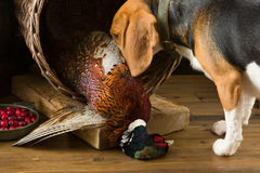 Beagle hunting dog Stock Photos