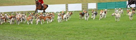 Beagle Hunting Hounds. Royalty Free Stock Photo