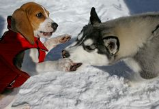 Beagle and husky. Young beagle and young husky playing and scuffling in the snow Royalty Free Stock Photo