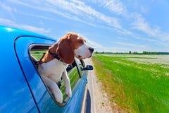 Beagle i blå bil Royaltyfria Foton