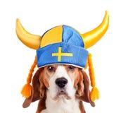 Beagle i den svenska hatten som isoleras på vit Arkivfoto
