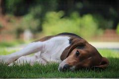 Beagle i gräs Arkivbilder