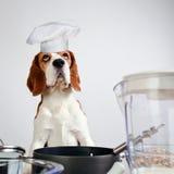 Beagle i kök Arkivfoto