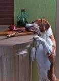 Beagle i kök Arkivbild