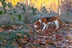 Beagle i ottan i höstskog Royaltyfria Foton