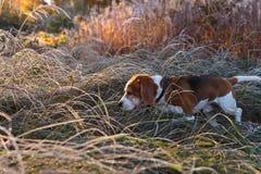 Beagle i ottan i höstskog Royaltyfri Foto