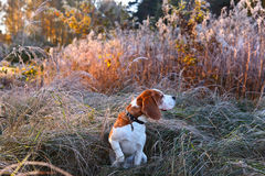Beagle i ottan i höstskog Royaltyfria Bilder
