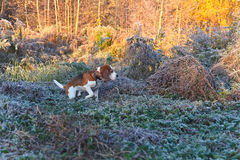 Beagle i ottan i höstskog Fotografering för Bildbyråer