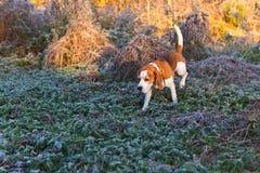 Beagle i ottan i höstskog Arkivfoto