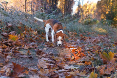 Beagle i ottan i höstskog Royaltyfri Bild