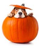 Beagle i pumpa Fotografering för Bildbyråer