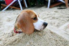 Beagle i sanden Arkivbild
