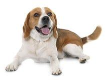 Beagle i studio Arkivbilder