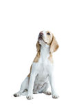 Beagle isolated on white Royalty Free Stock Image