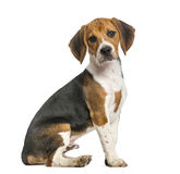 Beagle isolated on white Stock Image