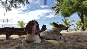Beagle and Jack Russel sit on the sand Royalty Free Stock Photos
