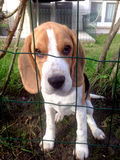 Beagle in jail. The Beagle is a breed of small to medium-sized dog Royalty Free Stock Image