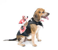 Beagle with Jockey Stock Photos