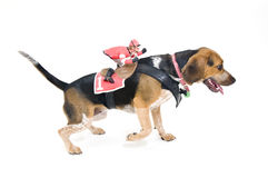 Beagle with Jockey Costume Royalty Free Stock Images