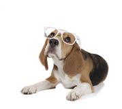 Beagle joven Imagen de archivo