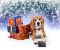 Beagle joven con el fondo de la Navidad de los presentes Imagenes de archivo