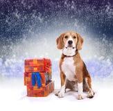 Beagle joven con el fondo de la Navidad de los presentes Imagen de archivo libre de regalías