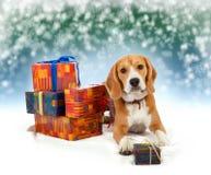 Beagle joven con el fondo de la Navidad de los presentes Fotografía de archivo libre de regalías