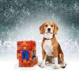 Beagle joven con el fondo de la Navidad de los presentes Fotos de archivo libres de regalías